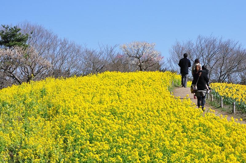 s-寒咲きナノハナ2