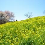 スイセンの丘(12月下旬~3月中旬)