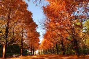 メタセコイヤの並木道(12月上旬)