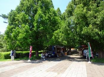 メタセコイヤの並木道 (1)