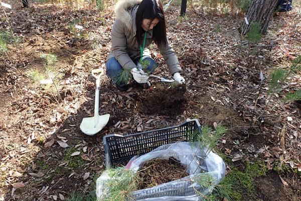 松の移植と落葉掻き体験