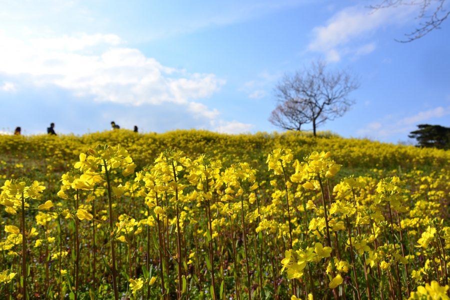 早咲きナノハナ